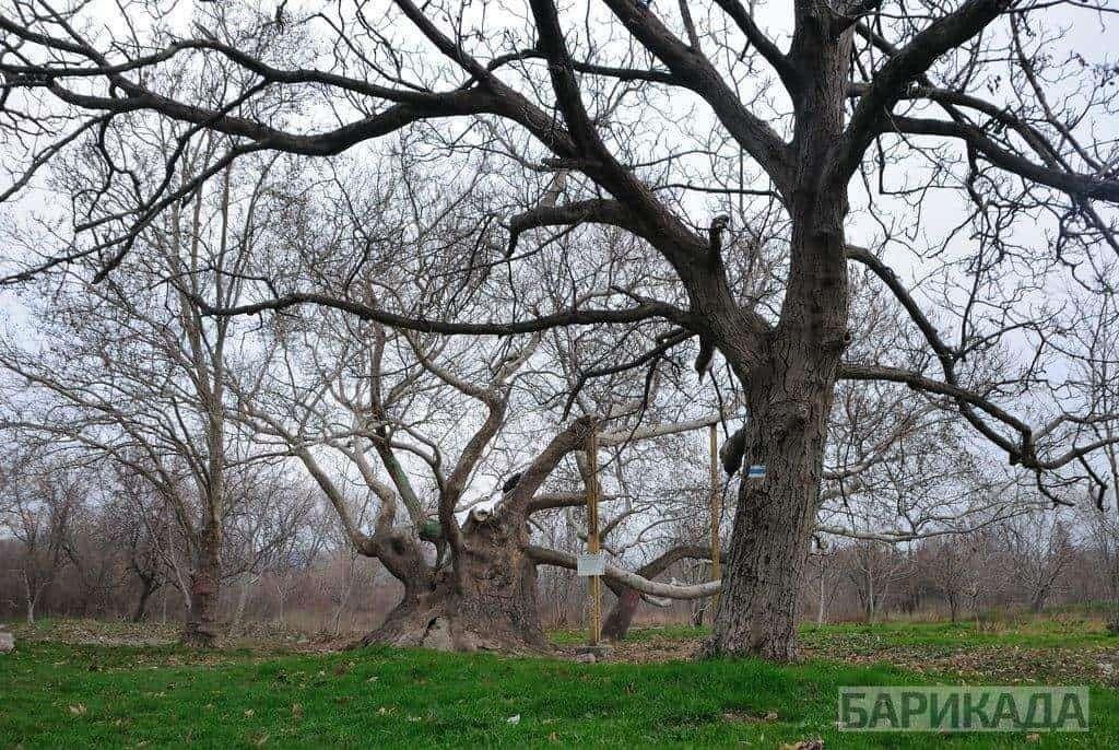 """Стария чинар в парка """"Бедечка"""". Снимка: Барикада"""