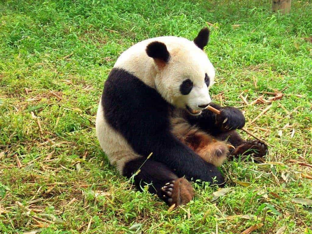 chengdu-pandas-d04