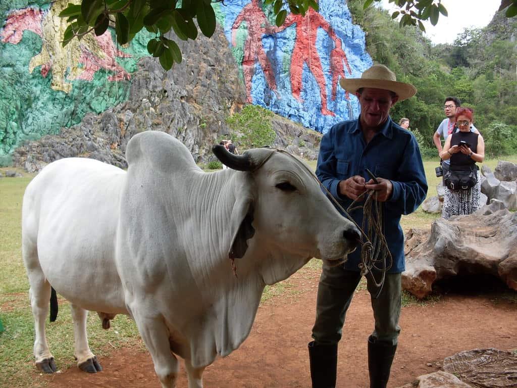 """Белият бик носи добър доход на предпремчивия новоизпечен """"частник"""", който предлага разходки с него край скалния стенопис"""