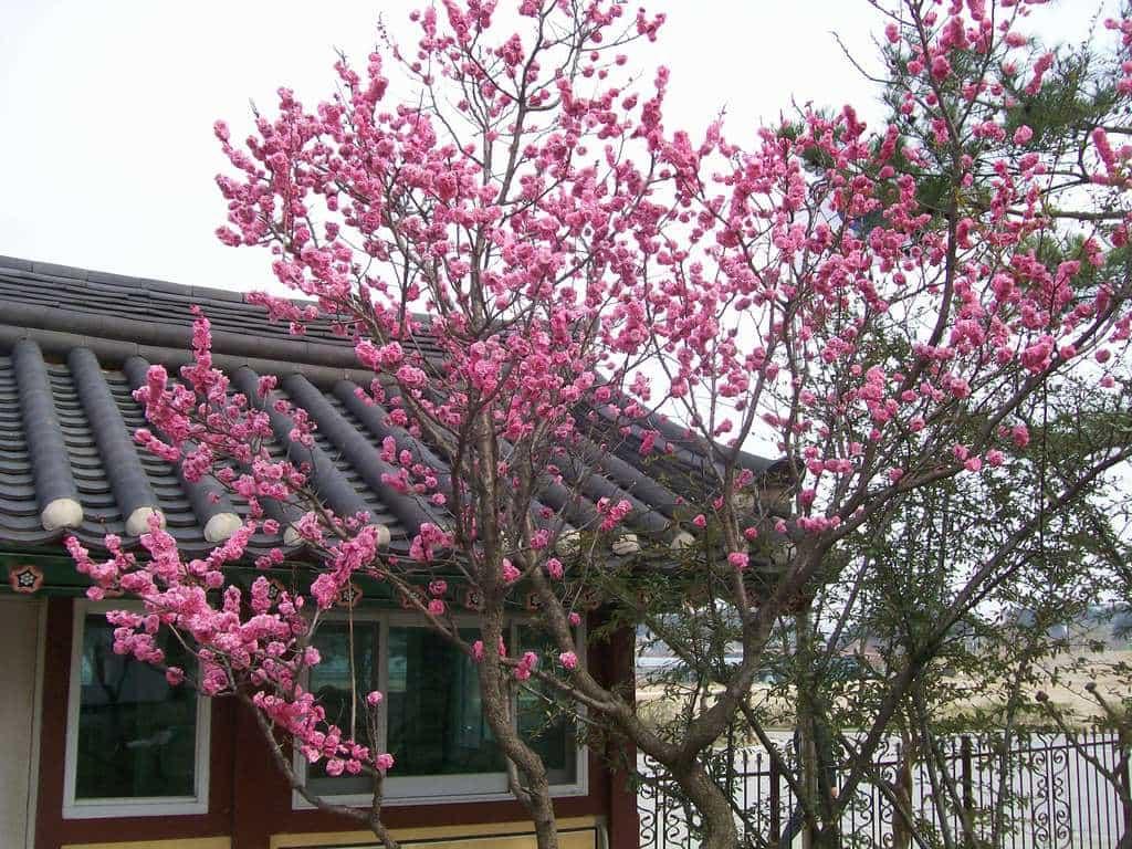 Цъфнали вишни в Сеонгйоджанг. Снимка: Къдринка Къдринова
