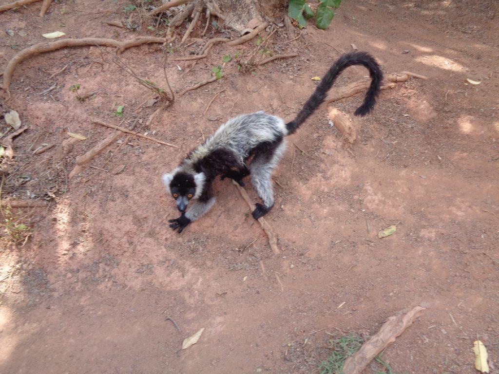 Един от първите срещнати в парка лемури. Снимка: Къдринка Къдринова
