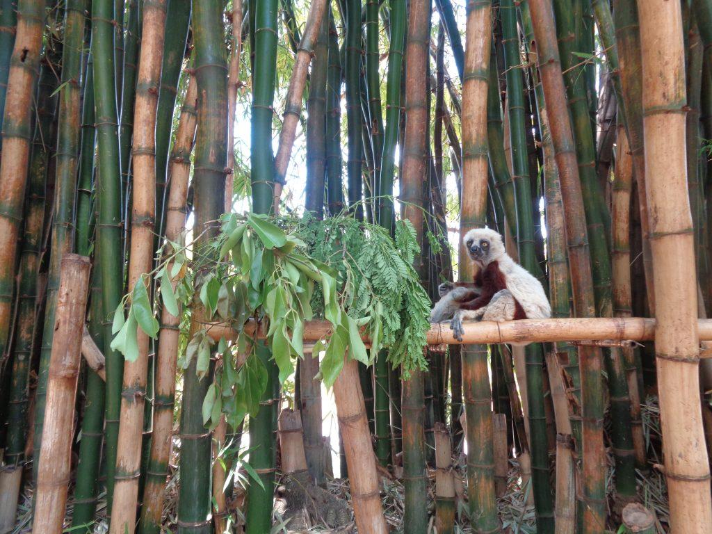 Ценителят на бамбука. Снимка: Къдринка Къдринова