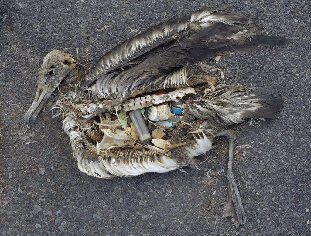 Съдържаните на стомаха на мъртъв албатрос, открит на остров в Тихия океан през 2009 година. Снимка: Wikimedia Commons