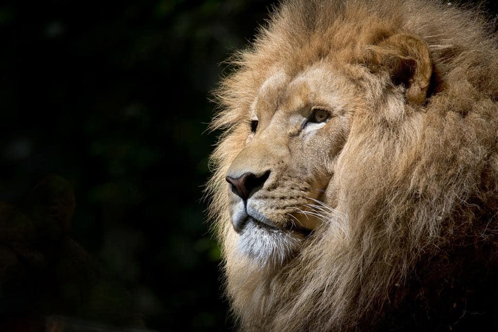 Лъвовете днес се срещат само в малка част от историческите си местообитания. Снимка: pexels.com