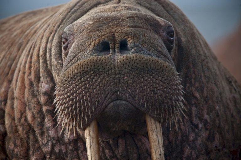walrus-908609_1920-768x512