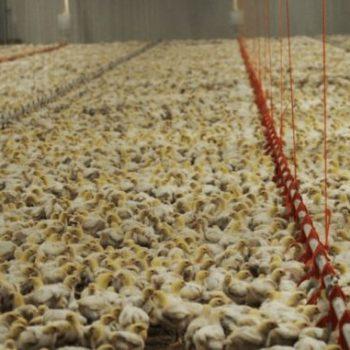 poultry-farm-678x381